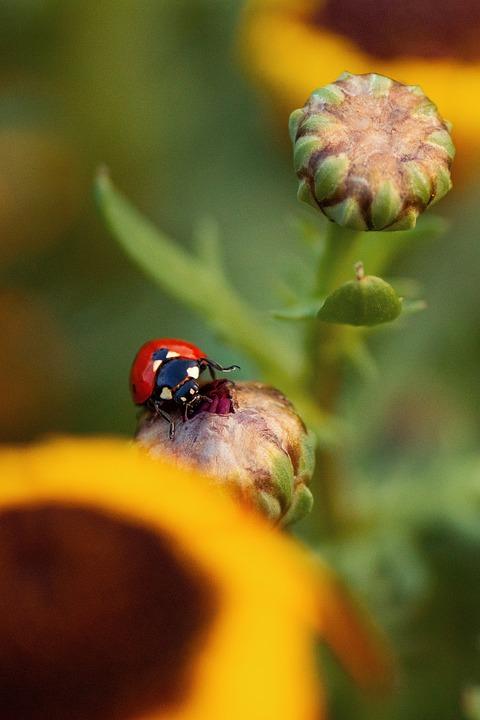 Ladybug, Insect, Nature, Beetle, Summer, Macro, Animal