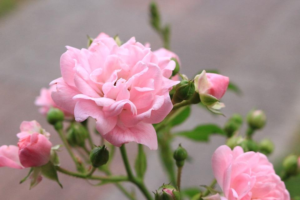 Flowers, Roses, Pink, Nature, Garden, Summer