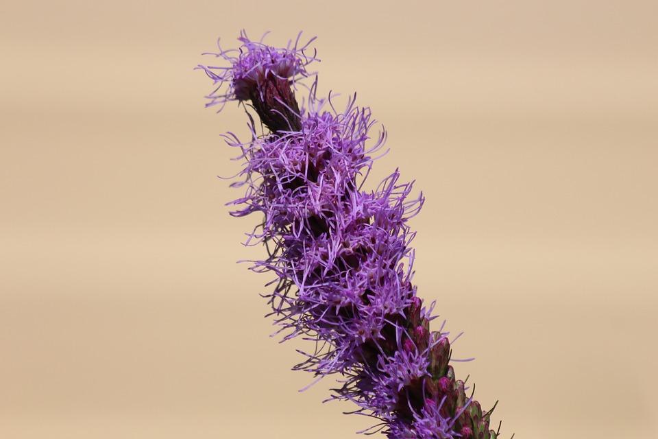 Liatris, Flower, Nature, Plant, Purple, Light, Summer