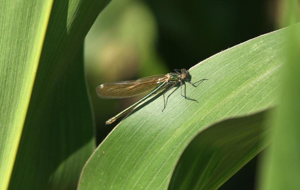 Dragonfly, Leaf, Corn, Green, Nature, Summer, Water