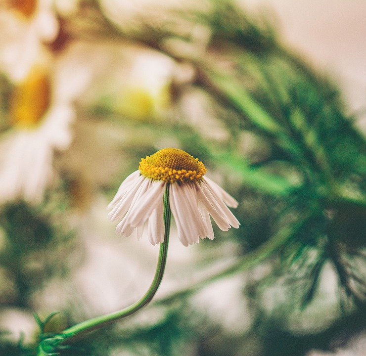 Flower, Chamomile, Nature, White, Summer, Floral, Bloom