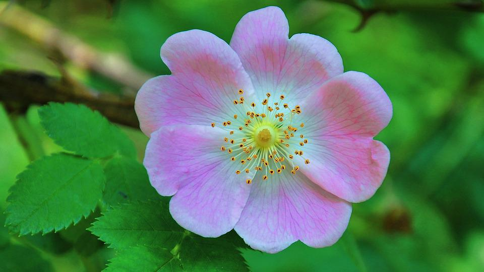 Wild Rose, Summer, Nature