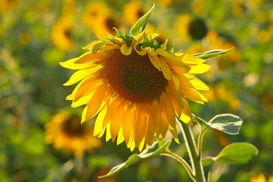 Sunflower, Field, Yellow, Nature, Summer, Flower