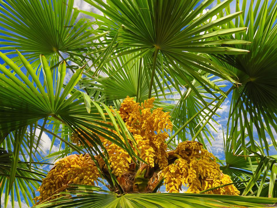Free photo Summer Palm Palm Fronds Tree Leaf Tropical Seeds - Max Pixel