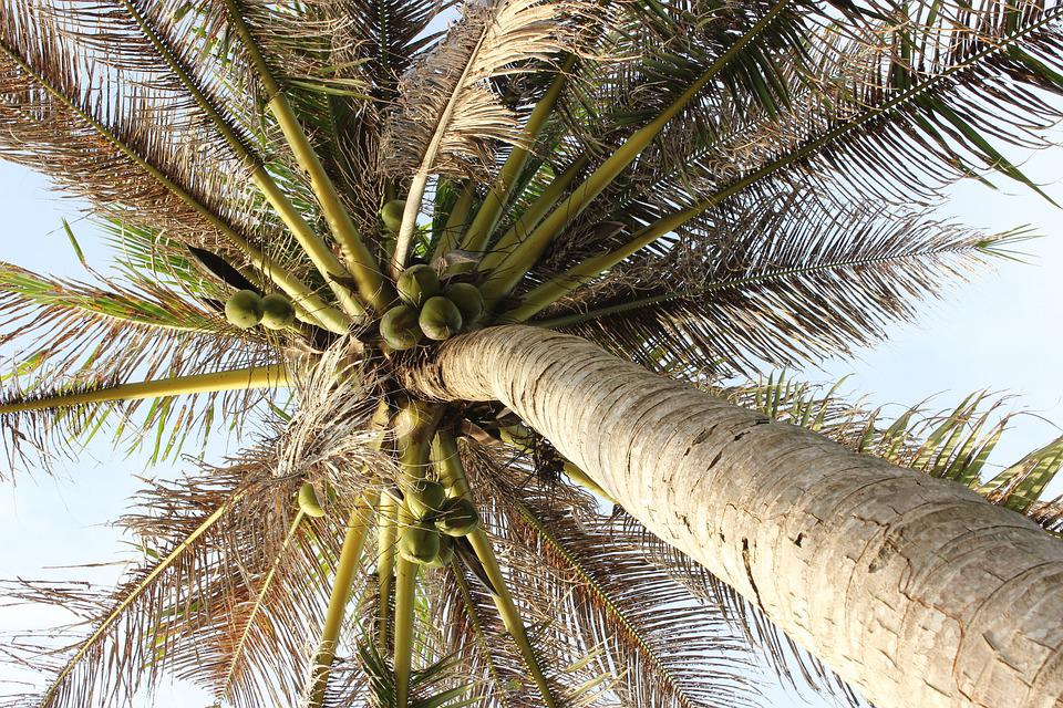 Palm, Tree, Sky, Palm Leaves, Plant, Summer, Sun, Beach