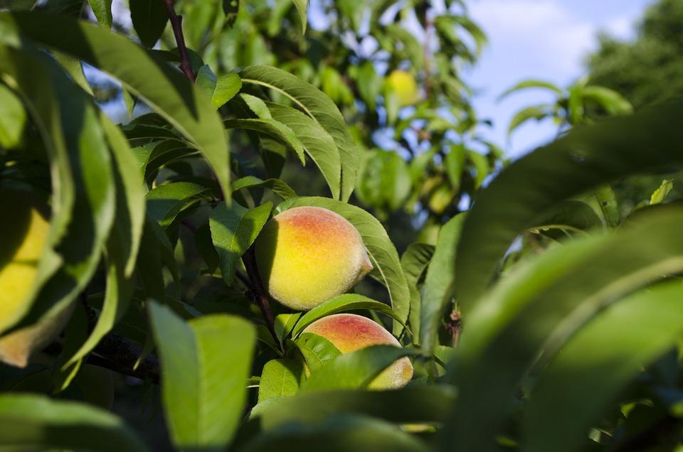 Peaches, Peach Tree, Summer, North Carolina