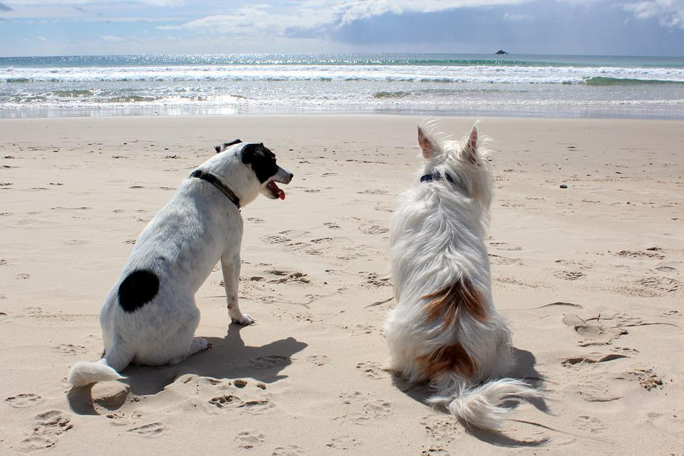 Dog, Beach, Pet, Sea, Vacation, Animal, Ocean, Summer