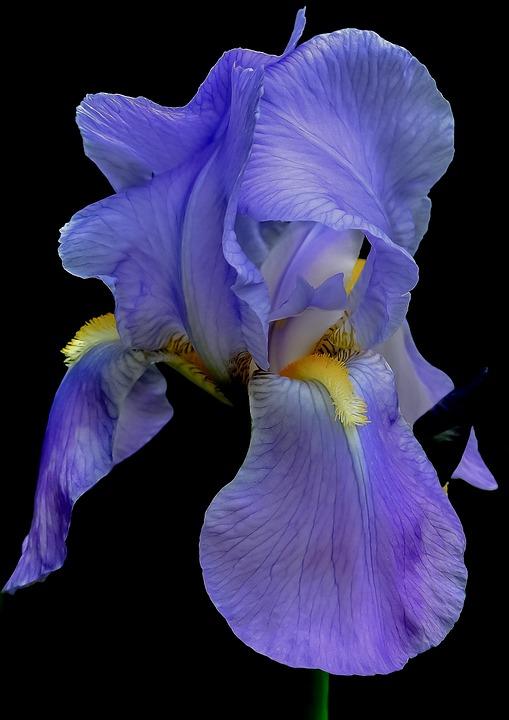 Iris, Flower, Blue, Summer, Floral, Plant, Petal