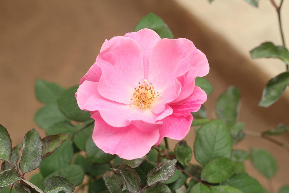 Flower, Nature, Plant, Leaf, Summer, Garden, Petal