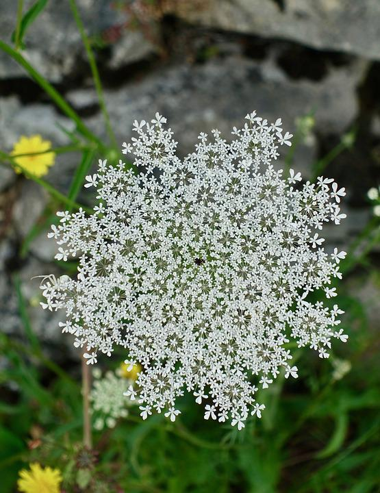 Flower, Flora, White, Nature, Season, Summer, Petal