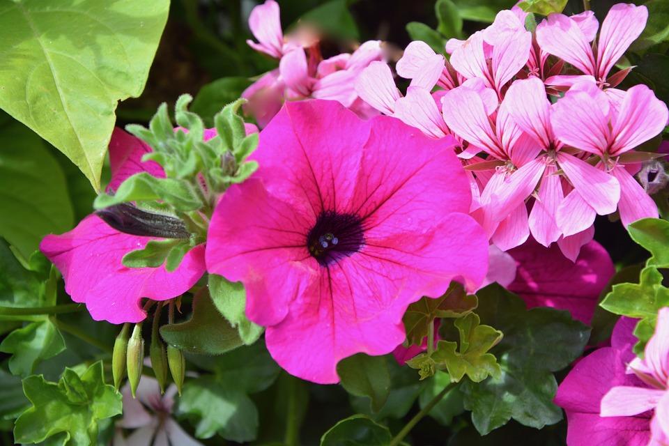 Flower, Petunia, Summer, Garden, Summer Flowers, Massif