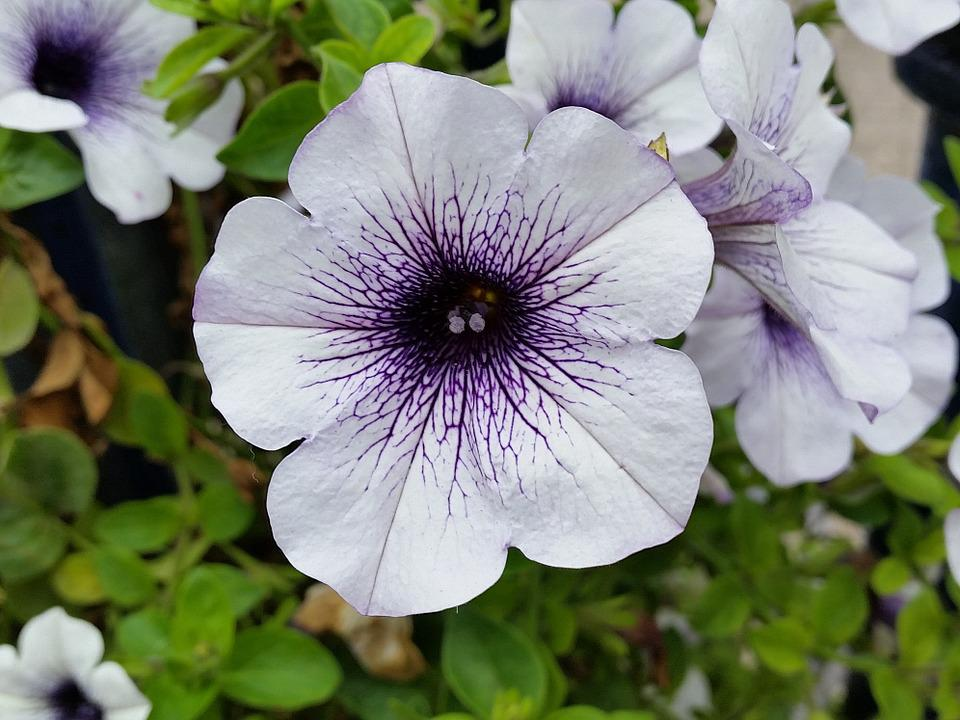Petunia, White, Purple, Flower, Nature, Garden, Summer