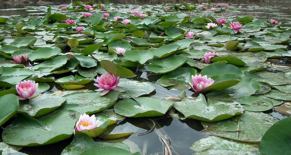 Flowers, Water Lilies, Pink, Pond, Summer, Foliage
