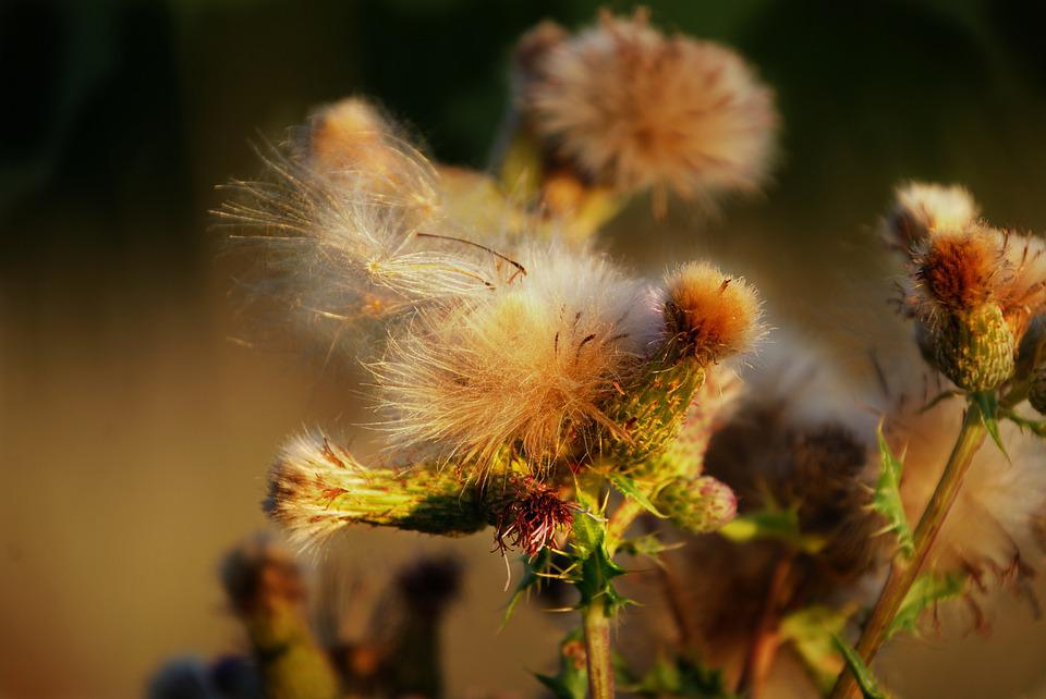 Thistle, Nature, Plant, Flower, Summer, Close Up