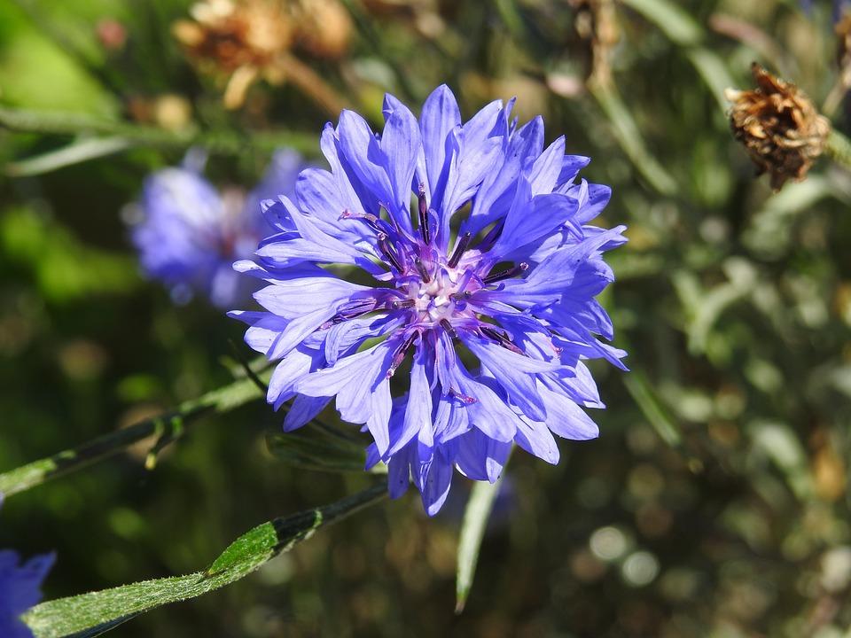 Plant, Cornflower, Summer, Violet