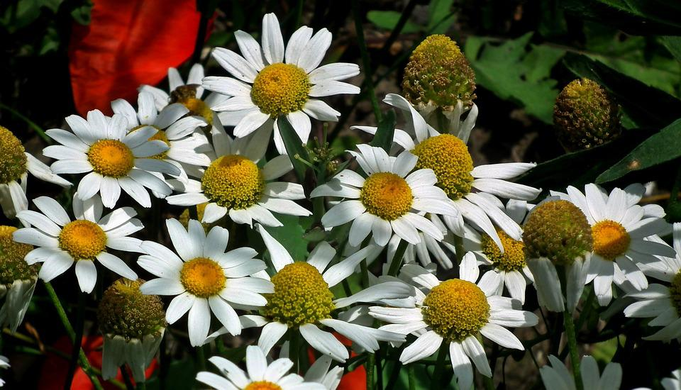 Flowers Wildflowers, Nature, Plant, Summer, Meadow