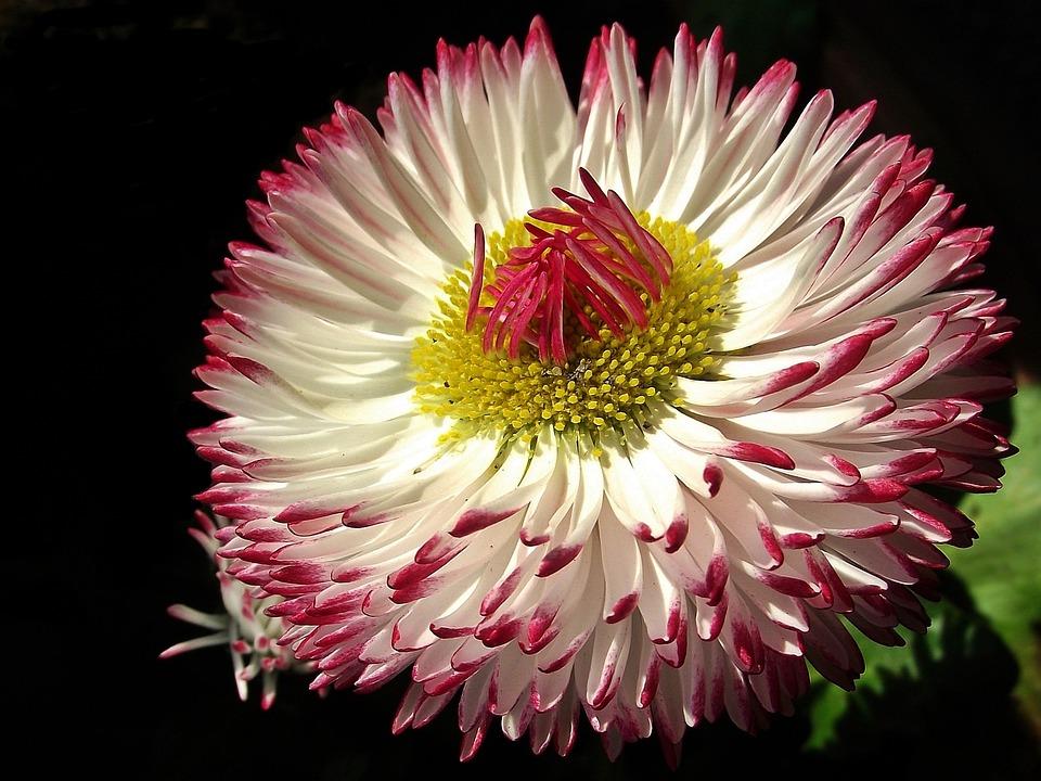 Flower, Daisy, Nature, Plant, Petal, Summer