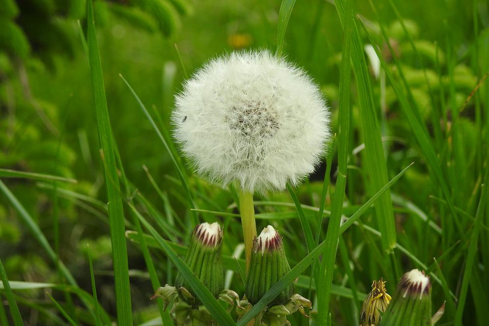 Lawn, Nature, Plant, Summer, Spring, Picnic, Dandelion