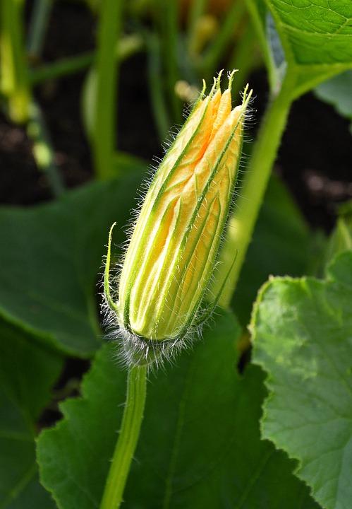 Pumpkin Blossom, Summer, Plant