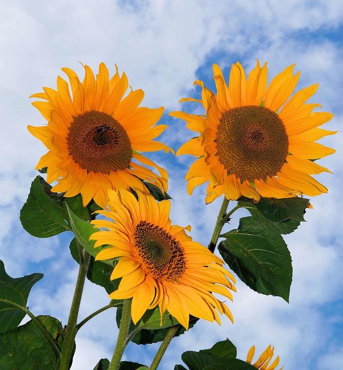 Sunflower, Flowers, Yellow, Summer, Plant, Bright