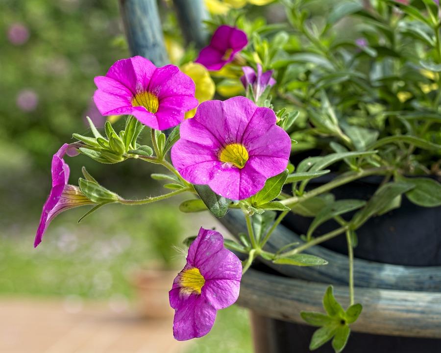 Surfinia, Plant, Plants, Garden, Flowers, Summer