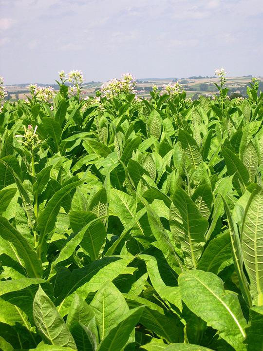 Tobacco, Arable Farming, Crop, Poland, Summer