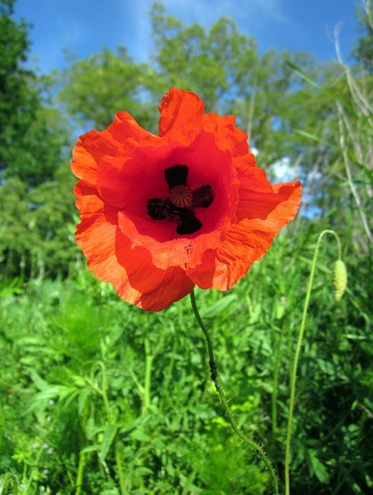 Poppy, Flower, Red, Close-up, Details, Summer, Bloom