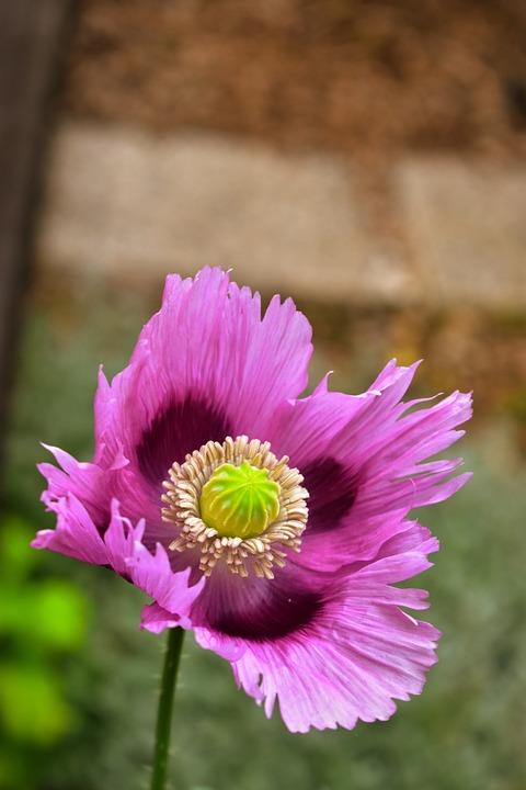 Flowers, Fleurs Des Champs, Summer, Poppies, Poppy