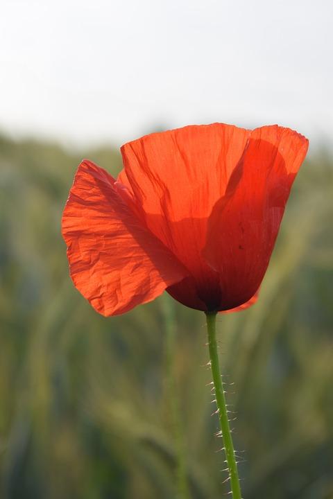 Poppy, Flower, Plant, Summer