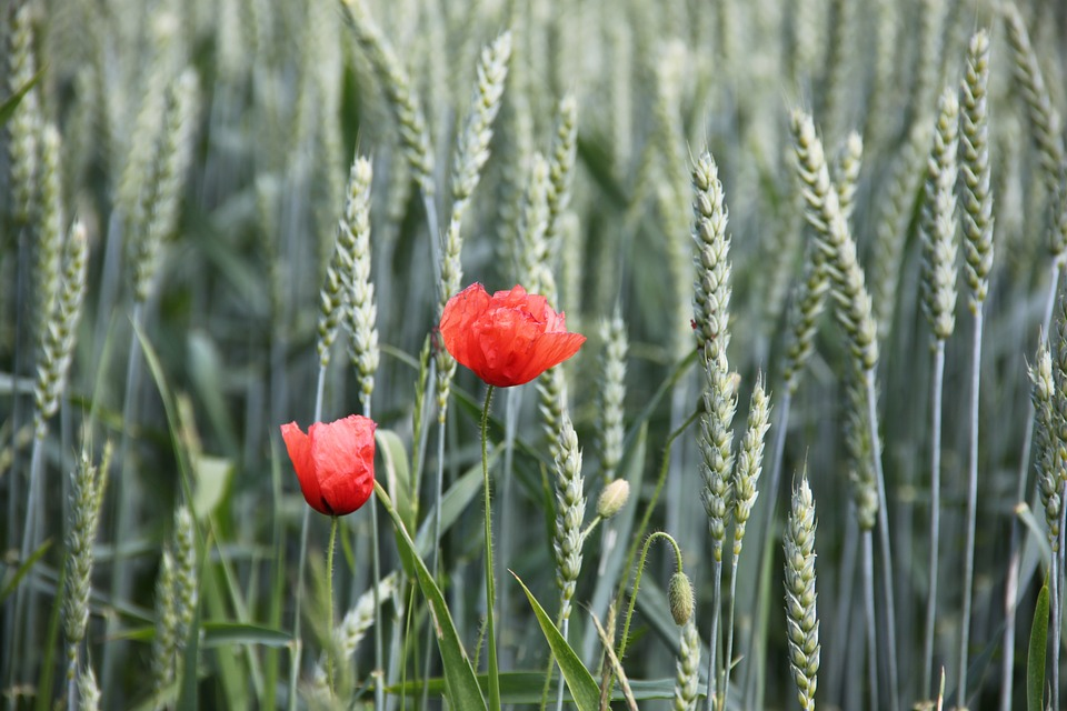Poppy, Grain, Cornfield, Cereals, Red, Summer