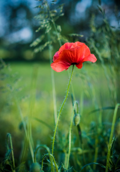Poppies, Flower, Red, Meadow, Poppy, Summer, Field