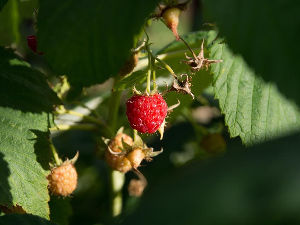 Malina, Fruit, Summer, Ripe Fruit, Bio, Eco, Product