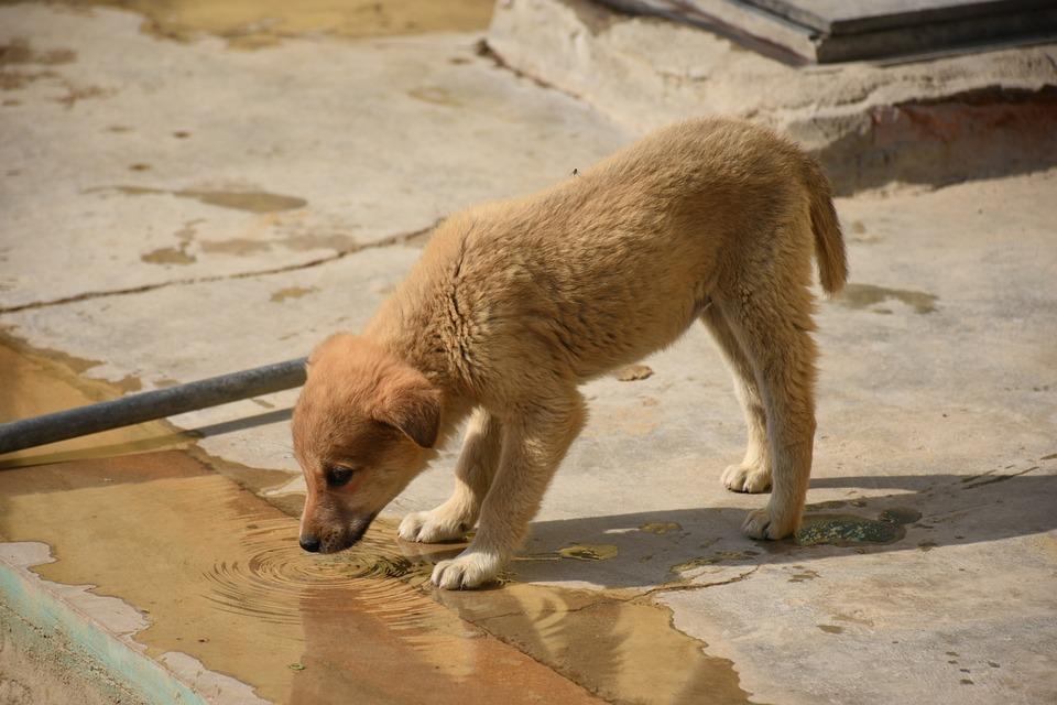 Water, Puppy, Drinking, Dog, Animal, Canine, Summer