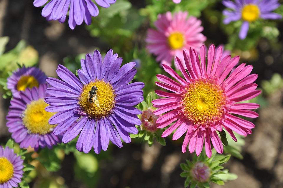 Flower, Garden, Purple, Pink, Flowers, Macro, Summer
