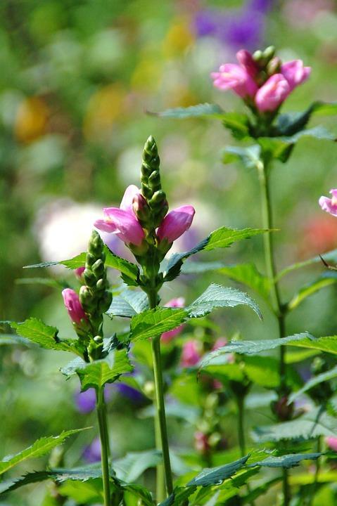 Nature, Plant, Sheet, Summer, Garden, Pink, Purple