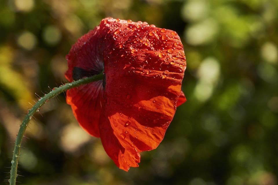 Nature, Flower, Plant, Leaf, Summer, Poppy, Rain, Sun