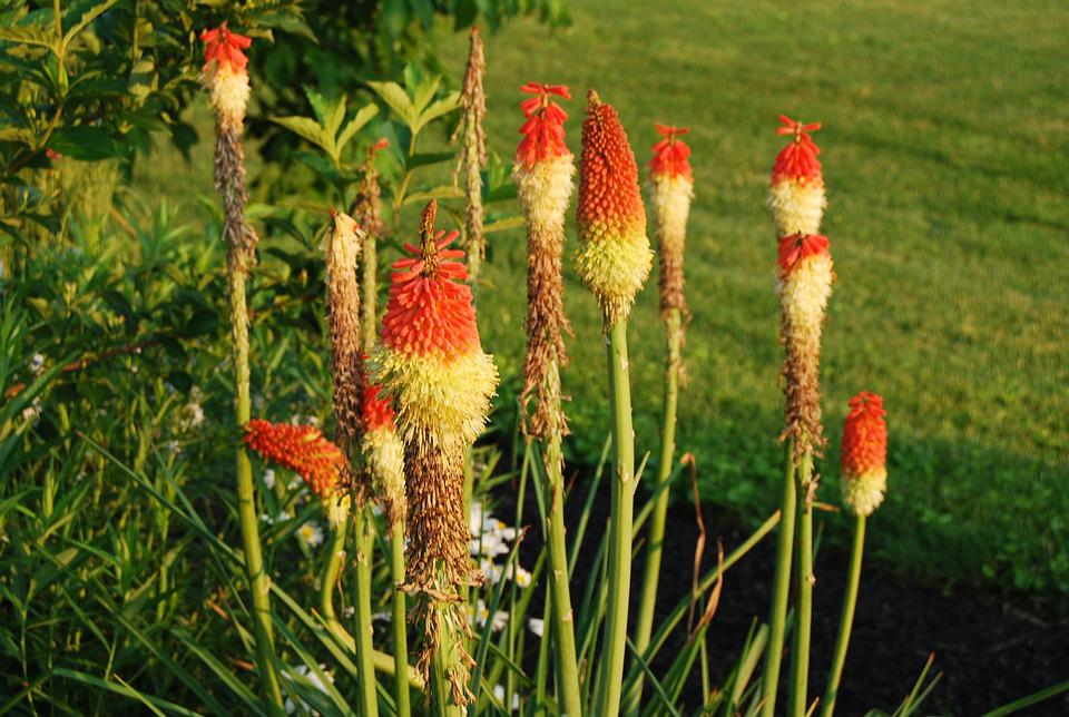 Plant, Red Hot Pokers, Summer