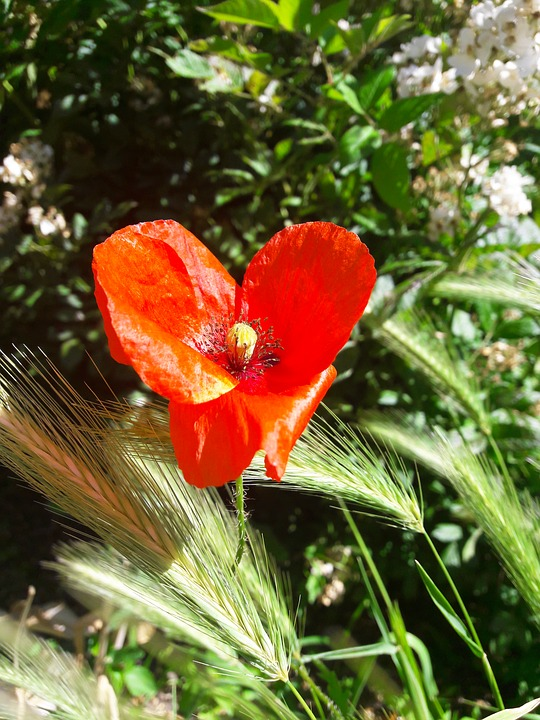 Nature, Flower, Summer, Red, Summer Flowers