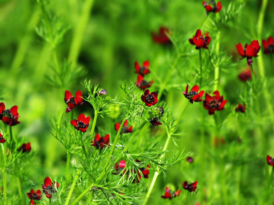 Flowers, The Background, Red, Burgundy, Meadow, Summer