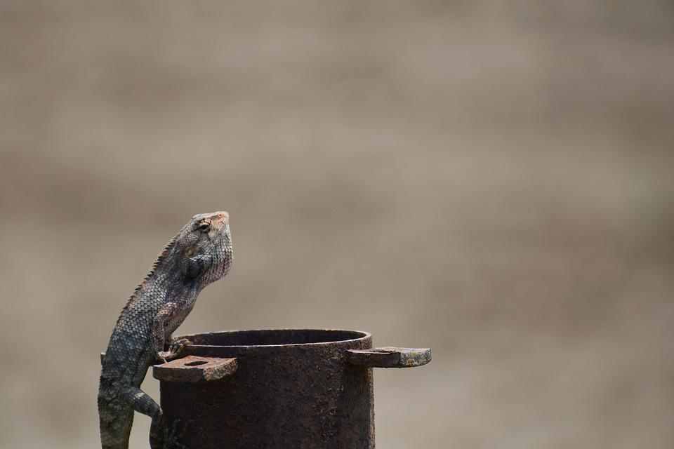 Lizard, Summer, Nature, Wildlife, Wild, Reptile, Fauna