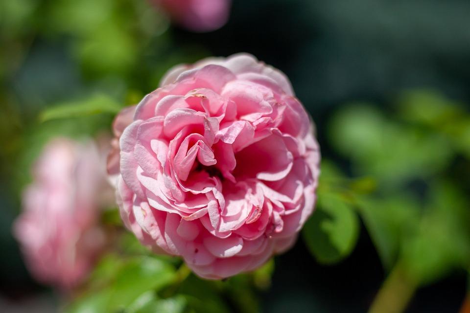 Pink, Nature, Summer, Flora, Colorful, Garden, Romantic
