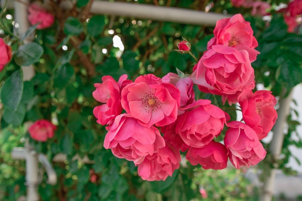 Rose, Flowers, Red, Rose Garden, Summer