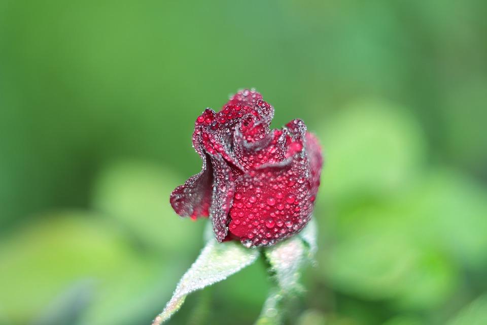 Rose, Flower, Plant, No One, Nature, Sheet, Summer
