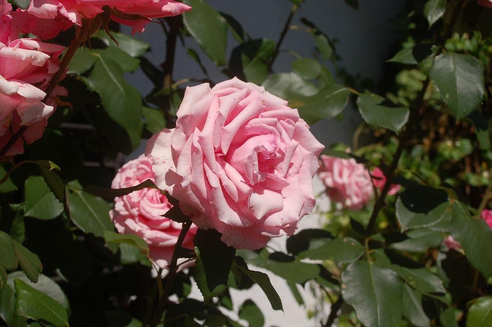 Summer, Roses, Fragrance