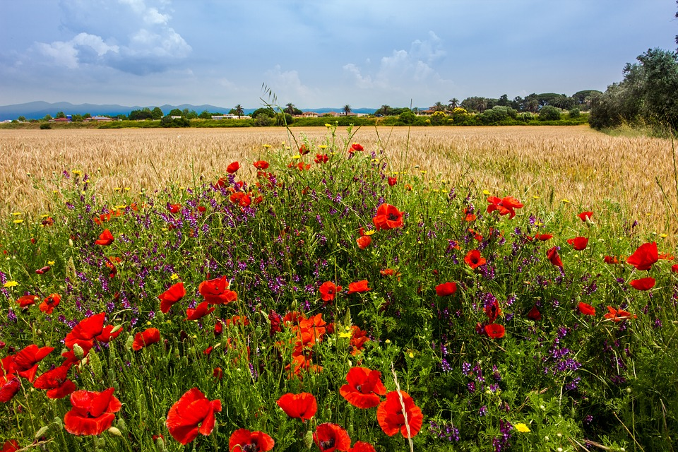 Cornfield, Summer, Nature, Plant, Sky, Rural, Poppies