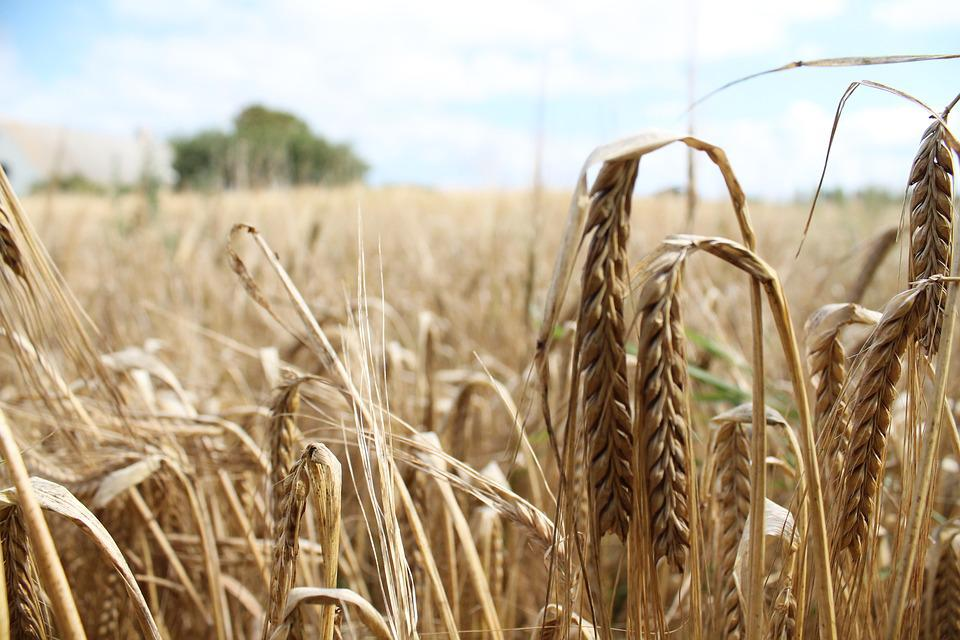 Wheat, Field, Harvest, Summer, Scenic, Agriculture