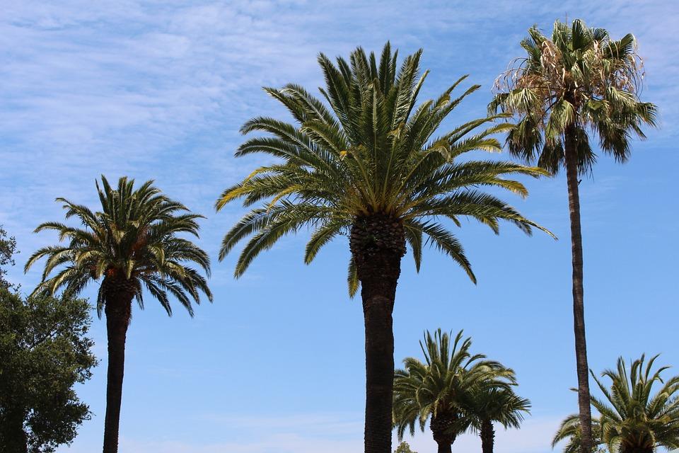 Palms, Tree, Palm Tree, Tropical, Summer, Sky