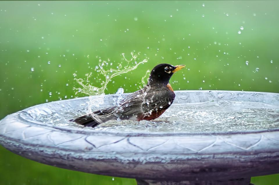 Bird Bath, Splashing, Bird In Bath, Bird, Summer