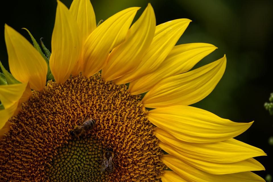 Sunflower, Sun, Flower, Blossom, Bloom, Summer, Yellow