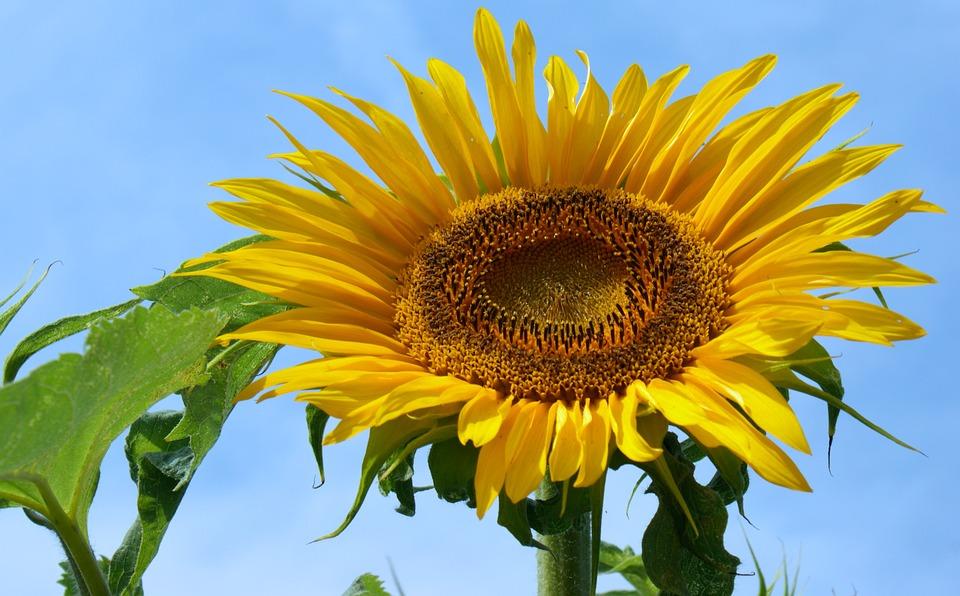 Sun Flower, Summer, Bright, Bloom, Flora, Close, Nature